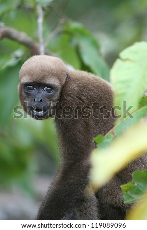 A Woolly Monkey in a tree along a river in the Amazon Rain forest - stock photo