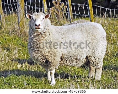 A woolly Romney ewe, looking at camera - stock photo