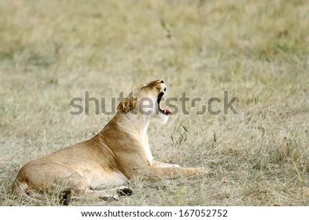 A yawning lioness - stock photo