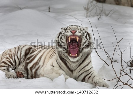 A yawning white bengal tiger, lying on fresh snow. - stock photo