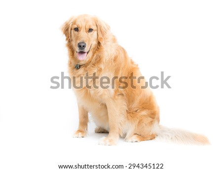 a 2 year old purebread golden retriever sits on a white background and looks at camera with mouth open and tongue hanging out  - stock photo