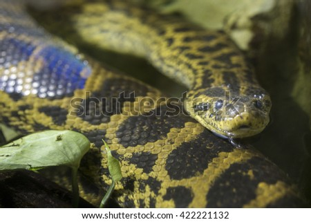 A yellow anaconda or Paraguayan anaconda, Eunectes notaeus, in the water. This snake is one of the largest snakes in the world