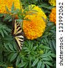 A Yellow and Black Monarch Butterfly on a Flower - stock photo