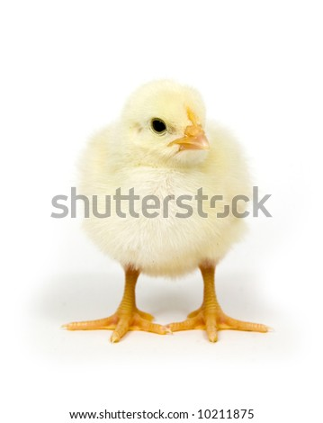 A yellow baby chicken stands on a white background