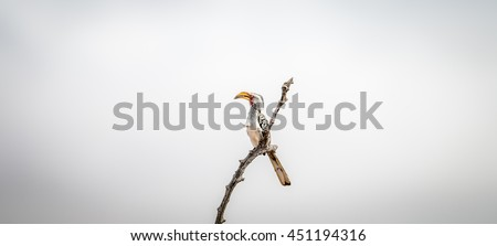 A Yellow-billed hornbill on a branch in the Kruger National Park, South Africa. - stock photo