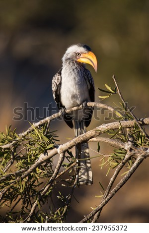 A yellow-billed hornbill perched on a branch - stock photo