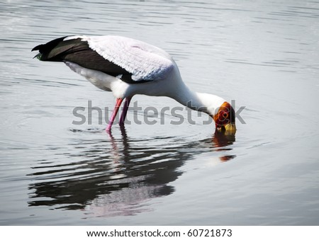A yellow-billed stalk wading through shallow waters on the edge of a fresh-water pond, Tanzania, searching for food. - stock photo