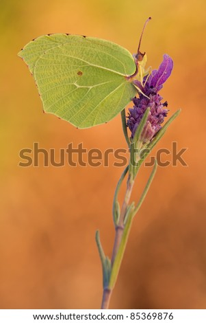 a yellow brimstone butterfly with orange background - Gonepteryx rhamni