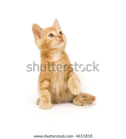 A yellow cat bats as a toy (out of frame) on a white background.