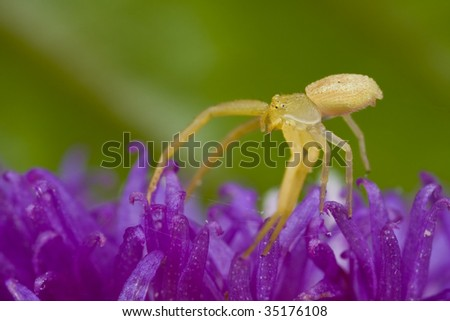 A yellow crab spider on purple porcupine flower - stock photo