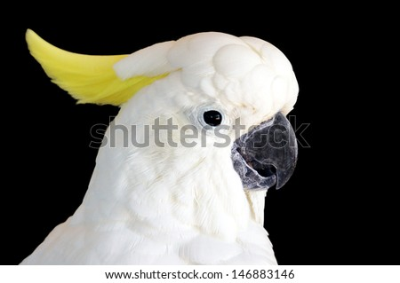 A yellow crested cockatoo (Cacatua Sulphurea) isolated on a back background. A critically endangered species native to Indonesia & East Timor