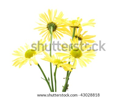 A yellow daisy bunch