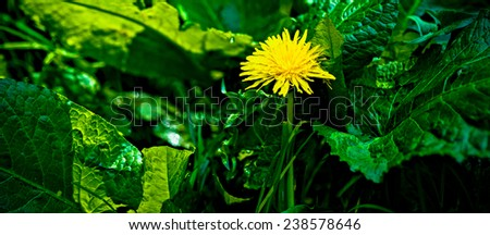 A yellow dandelion flower amidst green grass and burdock leaves. The spring season at its height - stock photo