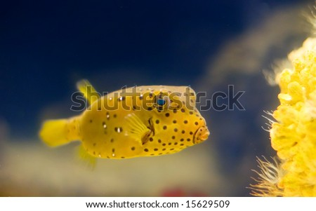 "a yellow exotic tropical Yellow Boxfish  . ""Ostracion cubicus """