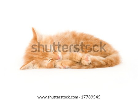 A yellow kitten lays down for a cat nap on a white background - stock photo