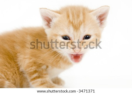 A yellow kitten lets out a cry while sitting on a white background