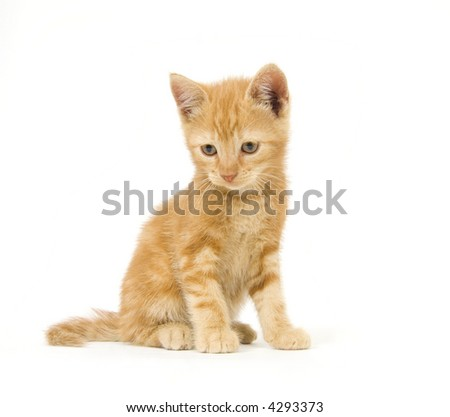 A yellow kitten looks down while sitting on a white background