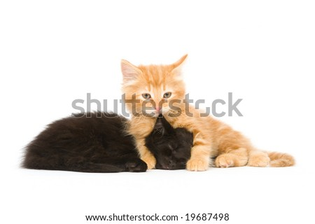 A yellow kitten looks up while a black cat snoozes