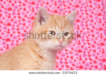 A yellow kitten on a heart patterned background valentines day