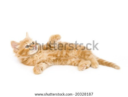 A yellow kitten plays while on its back on a white background
