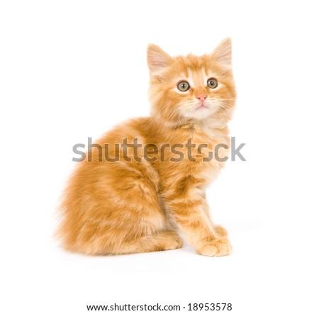 A yellow kitten staring straight ahead - stock photo