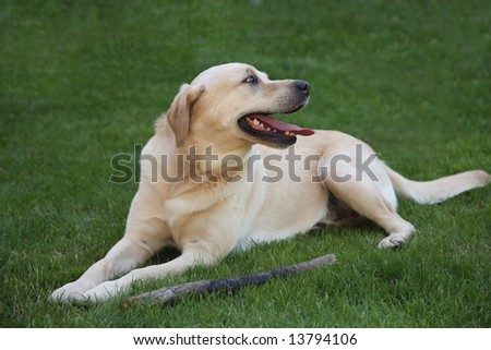 A Yellow Labrador dog on a lawn with its favorite stick.