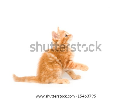 A yellow long-haired kitten raises its paws to swing at a toy while sitting on a white background. One in a series.