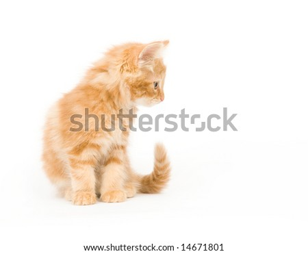 A yellow long-haired kitten sitting on a white background and looking to the left. One in a series.