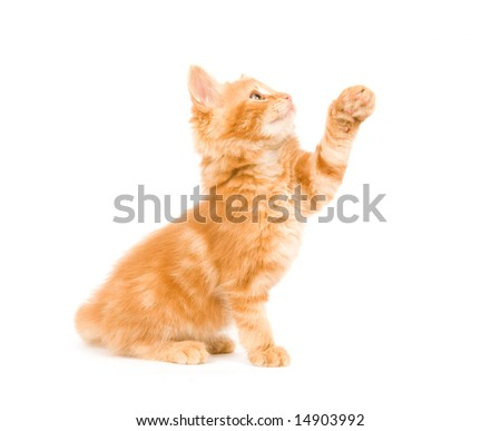 A yellow long-haired kittenl paying on a white background. One in a series.