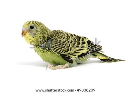 a yellow parakeet breeding isolated on a white background - stock photo