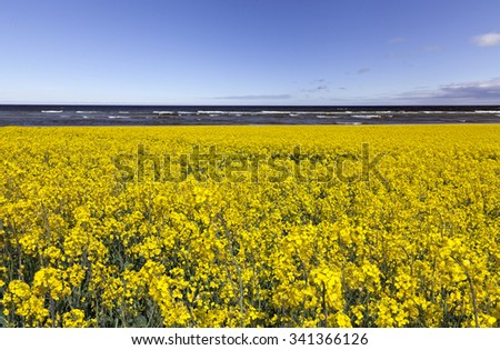 A yellow rapeseed field, this side the sea. The monoculture, ecosystem reach down to the shore. Springtime. - stock photo