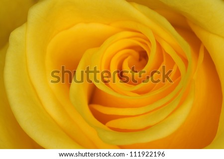 A yellow rose, closeup, Sweden
