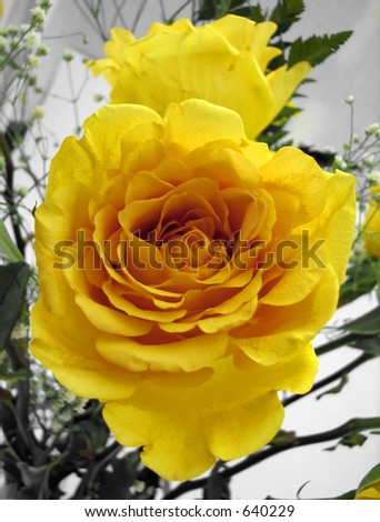 A yellow rose with a shallow depth of field - stock photo