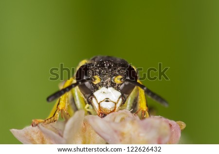 a yellow saw fly with a green background - stock photo