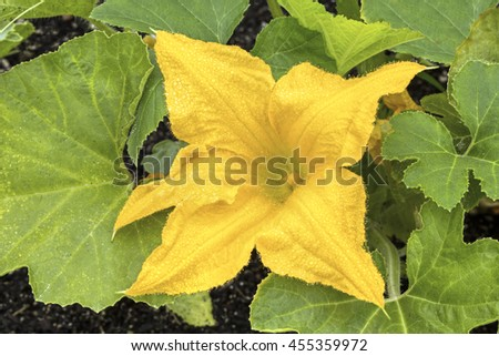 A yellow squash flower, wet with dew drops, blooms in the summer garden.
