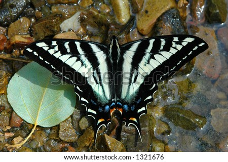 A yellow swallowtail butterfly rests on a rocky backdrop near the water's edge. - stock photo