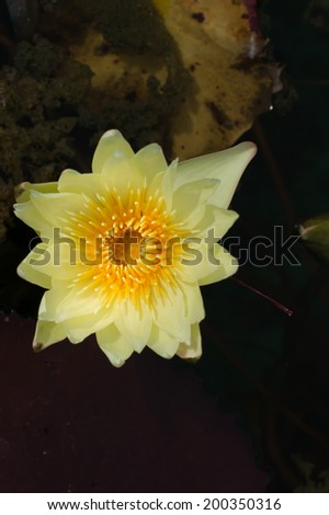 A yellow waterlily in natural pool - stock photo