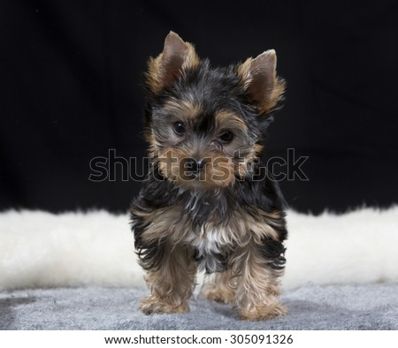 A yorkshire terrier puppy portrait. Image taken in a studio with a black background. The puppy is 10/ten weeks old. - stock photo