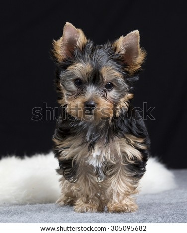 A yorkshire terrier puppy portrait. Image taken in a studio with a black background. The puppy is ten (10) weeks old. - stock photo