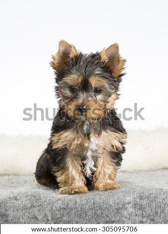 A yorkshire terrier puppy portrait. Image taken in a studio with a white background. The puppy is ten (10) weeks old. - stock photo