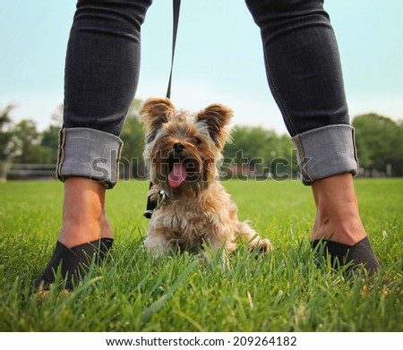 a yorkshire terrier sitting between a glamorous woman's legs - stock photo