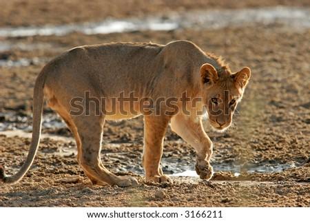 A young African lion, (Panthera leo) at a waterhole, Kalahari, South Africa - stock photo