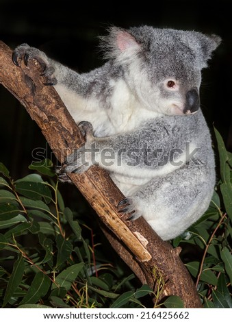 A young alert koala are native to australia sleep many hours a day - stock photo