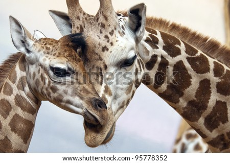 A young and an adult giraffes - stock photo