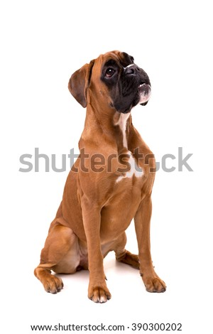 A young and beautiful boxer puppy, isolated over white background