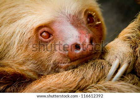 A young awake two-toed sloth, Ecuador South America - stock photo