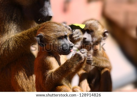 A young Baboon Papio attach with his mother - stock photo