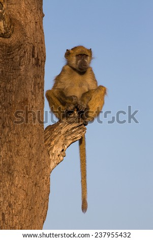 A young baboon, Papio ursinus, perched on a broken branch in golden light, staring off to the right with a soulful frown. Hwange National Park, Zimbabwe. - stock photo