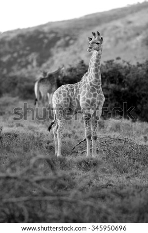 A young baby giraffe posing in this photo taken on safari in South Africa - stock photo
