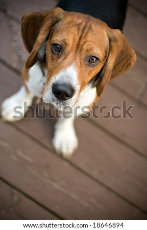 A young beagle dog looking at the camera out of curiosity. - stock photo